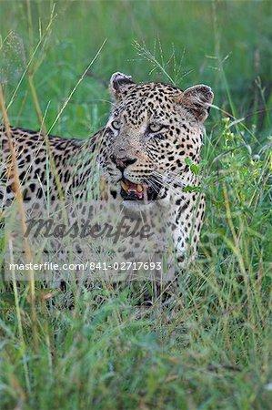 Leopard (Panthera pardus), Kruger National Park, South Africa, Africa