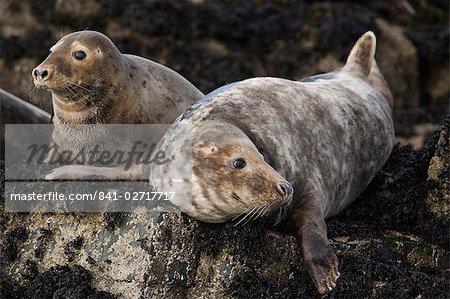 Grey seals (Halichoerus grypus), îles Farne, Seahouses, Northumberland, Angleterre, Royaume-Uni, Europe