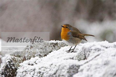 Robin (Erithacus rubecula) on frosty wall in winter, Northumberland, England, United Kingdom, Europe