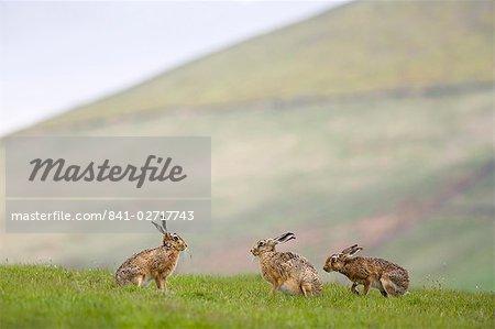 Brown lièvres (Lepus europaeus), abaisser la ferme Fairsnape, Bleasdale, Lancashire, Angleterre, Royaume-Uni, Europe
