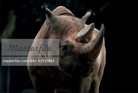 Black rhinoceros (rhino), an endangered species, Africa