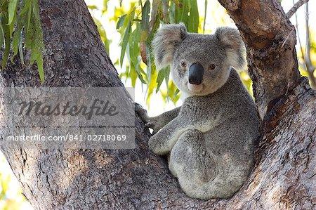 Koala (Phascolartos cinereus), Magnetic Island, Queensland, Australie