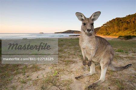 Eastern Grey Kangaroo, (Macropus giganteus), Pebbly Beach, N.P. Marramarang, New South Wales, Australie