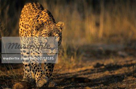 Leopard, (Panthera pardus), Duesternbrook Private Game Reserve, Windhoek, Namibie