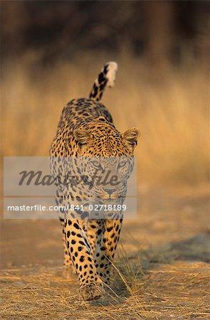 Léopard, Panthera pardus, Duesternbrook Private Game Reserve, Windhoek, Namibie