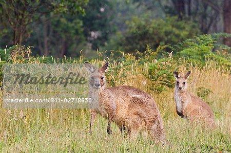 Eastern kangourous gris, Geehi, Parc National de Kosciuszko, New South Wales, Australie, Pacifique