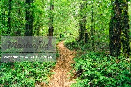 Chemin de randonnée à travers les hêtres Myrtle la forêt pluviale tempérée, Parc National des Yarra Ranges, Victoria, Australie, Pacifique