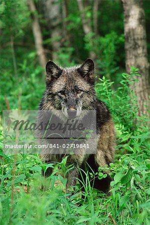 Loup gris (Canis lupus), en captivité, grès, Minnesota, États-Unis d'Amérique, l'Amérique du Nord
