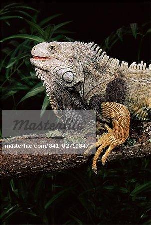 Iguane vert (Iguana iguana) en captivité, du centre de l'Amérique du Sud