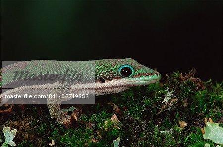 Ligné gecko diurne (Phelsuma lineata), en captivité, de Madagascar, Afrique