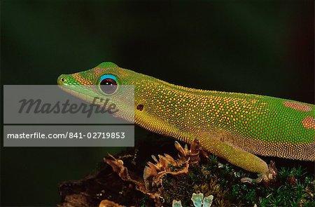Gecko diurne poussière d'or (Phelsuma laticauda), en captivité, de Madagascar, Afrique
