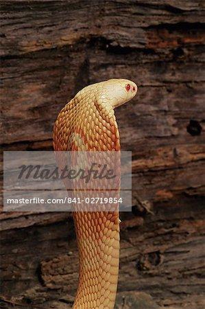 Cobra à monocle albinos (Naja naja kaouthia), en captivité, de l'Asie du sud-est, Asie