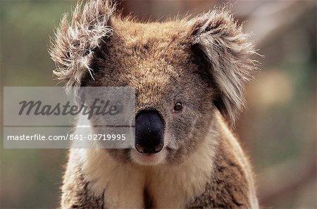 Koala bear (Phascolarctos cinereus), Phillip Island, Victoria, Australia, Pacific