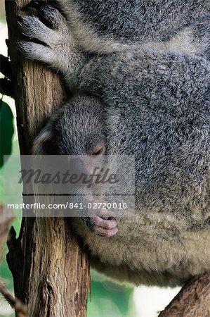 Koala Baby bear (Phascolarctos cinereus) en poche, Brisbane, Queensland, Australie, Pacifique