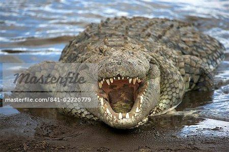 Crocodile du Nil (Crocodylus niliticus) sur la rive de la rivière Mara avec mâchoires ouvertes, Masai Mara National Reserve, Kenya, Afrique de l'est, Afrique