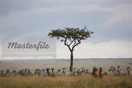 De Burchell zèbres (Equus burchelli) et topi (Damaliscus korrigum), Masai Mara National Reserve, Kenya, Afrique de l'est, Afrique