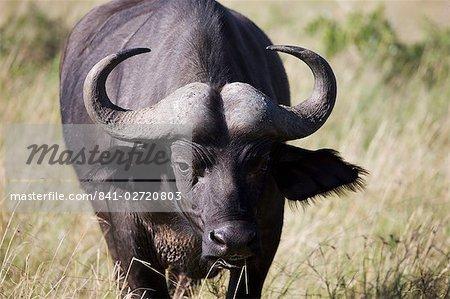 Buffle d'Afrique (Syncerus caffer), Masai Mara National Reserve, Kenya, Afrique de l'est, Afrique
