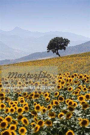 Tournesols, près de Ronda (Andalousie) de l'Andalousie, Espagne, Europe