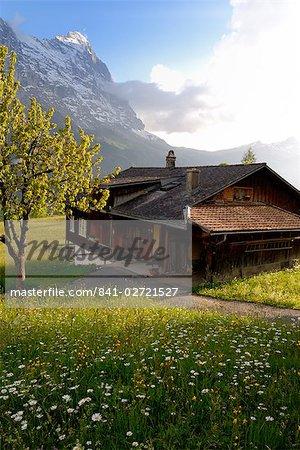 Printemps pré de fleurs alpines et chalet, Grindelwald, Berne, Suisse, Europe