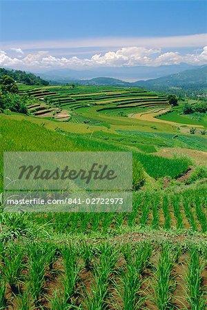 Rice terraces of the Minangkabau, a local matrilineal indigenous ethnic group, near Bukittingi, Sumatra, Indonesia