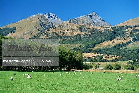 Moutons paissant dans la vallée de la rivière Rees près de Glenorchy à l'extrémité nord du lac Wakatipu dans le pittoresque quartier west Otago, île du Sud, Nouvelle-Zélande, Pacific