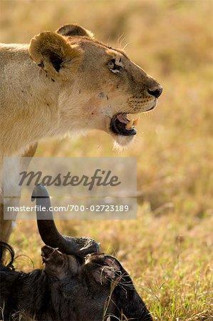 Lionne et carcasse de gnous, Masai Mara, Kenya