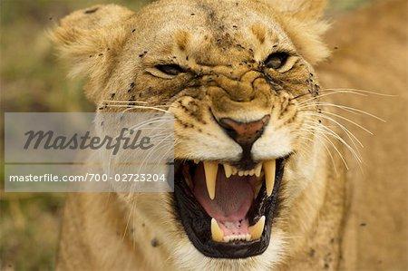 Lionne, Masai Mara, Kenya