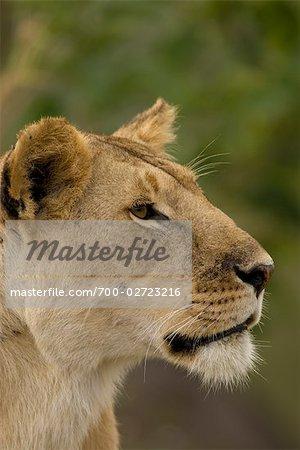 Portrait de lionne, Masai Mara, Kenya
