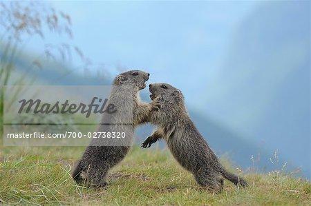 Junge Alpine Murmeltiere kämpfen