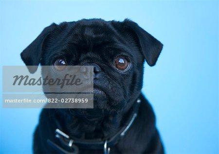 Close up of a black pug
