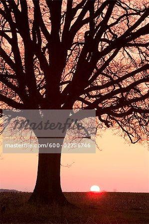 Silhouette d'arbre de chêne au coucher du soleil, North Rhihe-Westphalie, Allemagne
