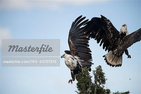 Lutte contre les aigles, Masai Mara, Kenya