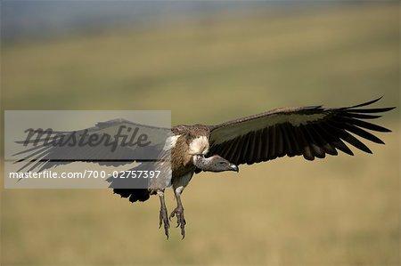 Vautour, Masai Mara, Kenya