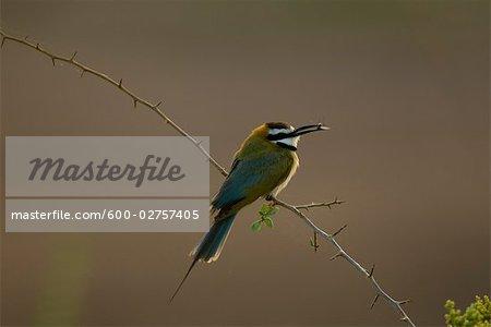 White-Throated Bee-Eater, Samburu, Kenya