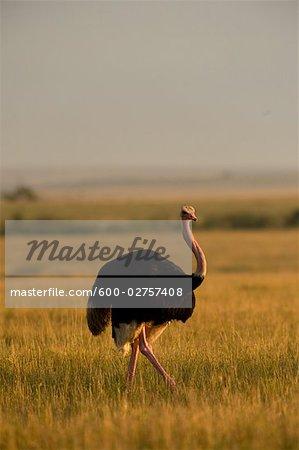 Ostrich, Masai Mara, Kenya