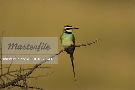White-Throated Bee-Eater, Buffalo Springs, Kenya