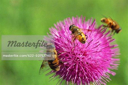Bees on Burdock Flower