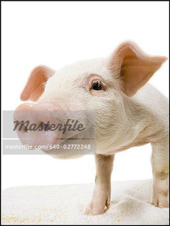 Museau et visage de porc en gros plan