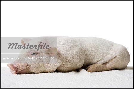 Porcinet couché de profil