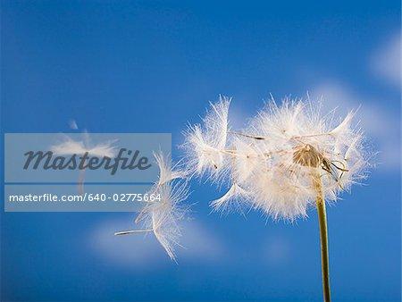 Detailansicht der Löwenzahn Samen mit blauer Himmel