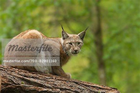 Portrait of European Lynx, Hessen, Germany