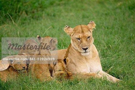 Lionne et oursons, réserve nationale de Masai Mara, Kenya, Afrique de l'est, Afrique