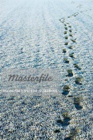 Footsteps in Frozen Grass, Skovby, Region Midtjylland, Jutland Peninsula, Denmark