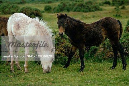 Dartmoor-Ponys, Devon, England, Vereinigtes Königreich, Europa