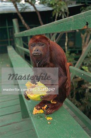 Female monkey, Amazon area, Brazil, South America