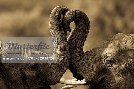 Éléphants africains Sparring, Masai Mara, Kenya, Afrique