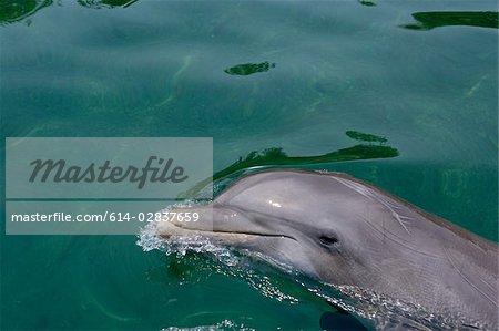 Atlantic bottlenose dolphin.
