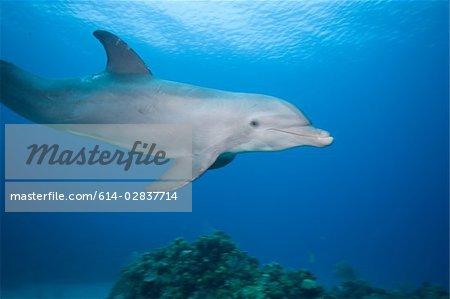 Profile of dolphin  underwater.