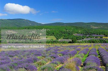 Lavender Fields, Sault, Provence, France