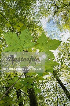 Gros plan des feuilles d'érable et les arbres dans la forêt